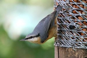 The nervous Nuthatch (Pic: Nick Broome, www.westmidlandbirdclub.com)